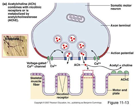 Synaptic Knob Definition by 8 2 Pics Pf Neuromuscular Junction At S