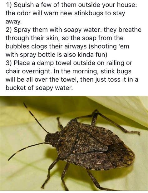 rid  stink bugs dawn  soapy water spray drops   shame