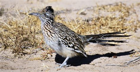 greater roadrunner new mexico pictures new mexico