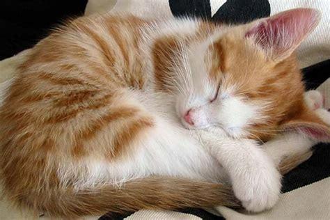 imagenes de gatas blancas frases chistosas sobre los gatos