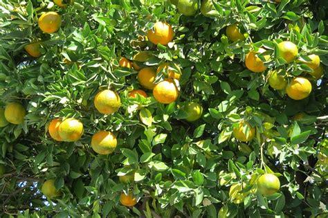 Bebih Biji Jeruk Lemon Import foto gratis mandarino citrico albero frutta immagine gratis su pixabay 509948