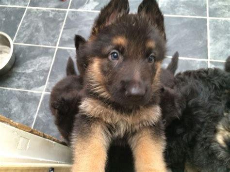 local german shepherd puppies for sale german shepherd pups for sale in nassau paradise island fiwiclassifieds