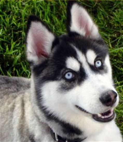 siberian husky puppies for sale mn top siberian husky breeders minnesota siberian husky auto design tech