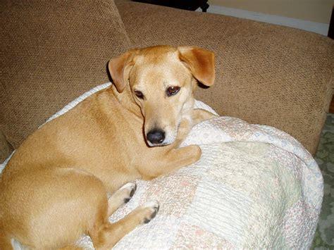 beagle lab golden retriever mix golden retriever beagle