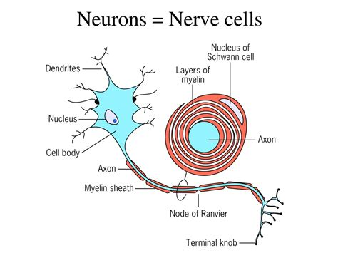 nerve cell diagram nerve cell diagram unlabeled www pixshark images