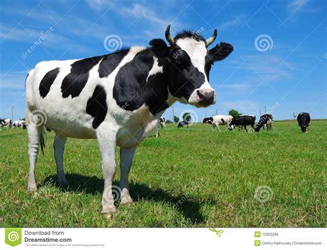 la espaa vaca viaje b01dkun97c vaca de cuernos joven en el prado im 225 genes de archivo libres de regal 237 as imagen 10303289