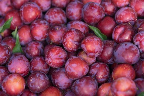 ragam manfaat buah plum merah bagi kesehatan honestdocs