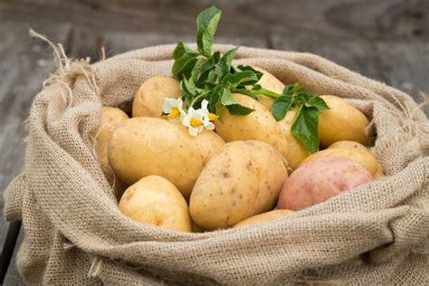 piantare patate in vaso come coltivare le patate in vaso non sprecare