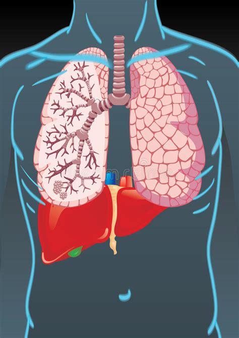 foto organi interni corpo umano con gli organi interni illustrazione di stock
