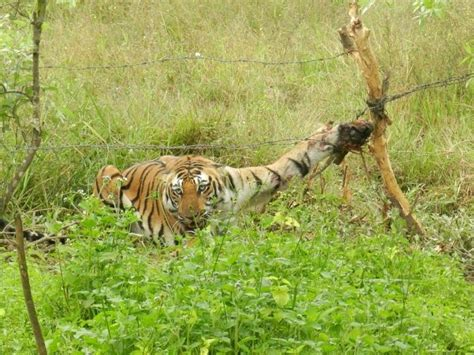 Injured tiger saved by village    ScienceDaily