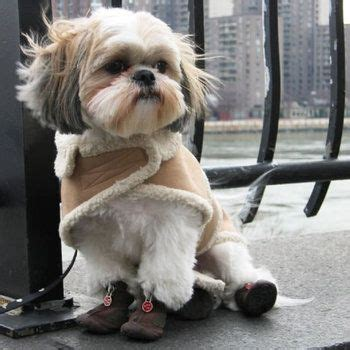 shih tzu boots 182 best images about shih tzu on so and shih tzu