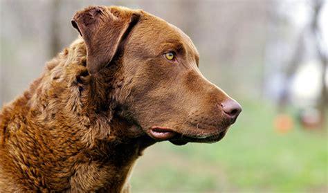 chessie puppies chesapeake bay retriever breed information