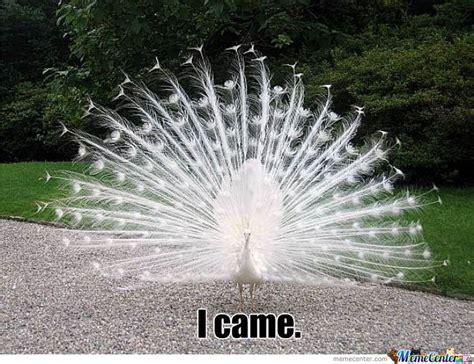 Peacock Meme - peacock by makrul meme center