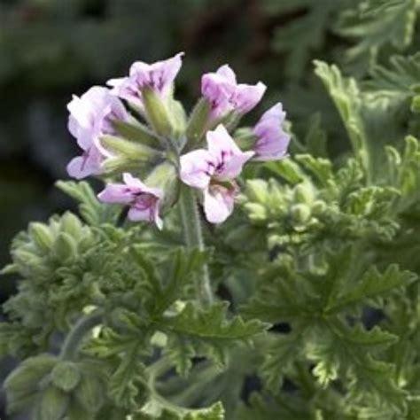 mosquito repellent plants non gmo citronella geranium 2 two large live plants ebay