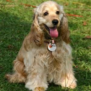 Cocker spaniel small dog most popular breeds us dog breeds index