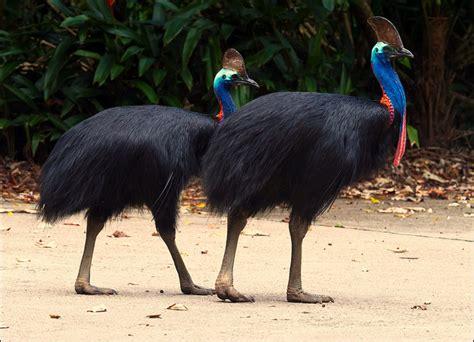 australia�s biggest birdsa keystone species and a