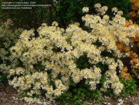 Northern Lights Azalea by Plantfiles Pictures Rhododendron Azalea Northern Hi