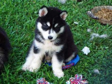 husky puppy cost how much do husky puppies cost quotes