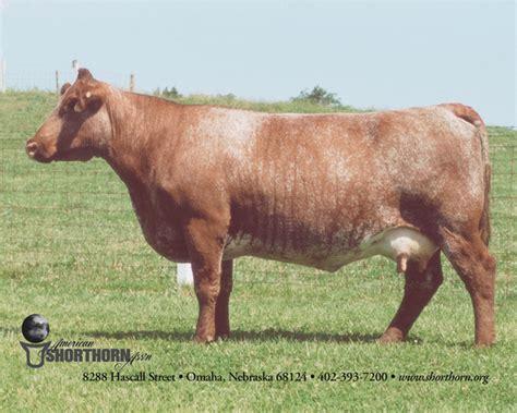cow breeds argentine criollo