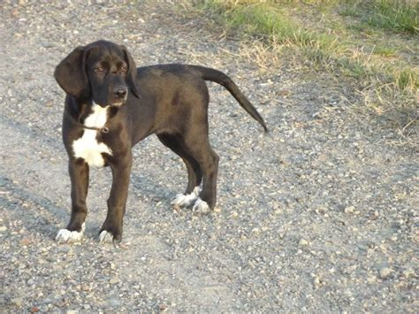 beagador puppies pin by allen on ridiculously animals