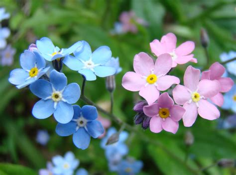 beautiful spring flowers beautiful spring flowers forget me wallpapers and images