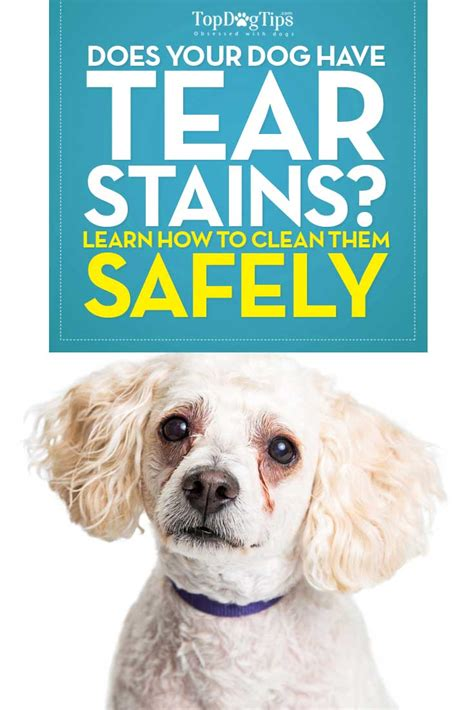 puppy tear stains how to remove tear stains naturally with step by step