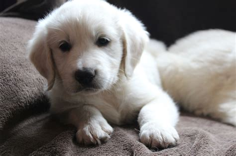 golden retriever cross puppies for sale golden retriever cross puppies matlock derbyshire pets4homes