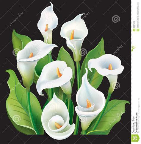 fiore calle bianche mazzo delle calle bianche illustrazione vettoriale