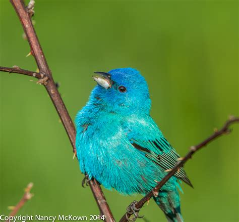 photographing male indigo buntings and the illusion of