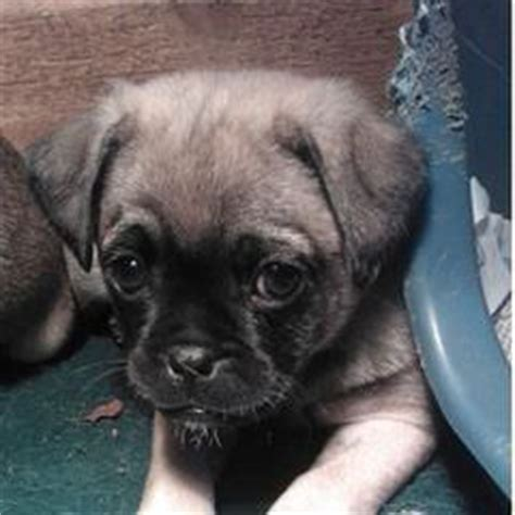 pug puppies for sale in columbia mo chug puppies for sale chug breeders