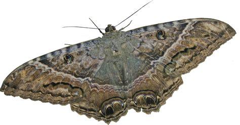 imagenes de mariposas nocturnas mariposas nocturnas antheraea polillas de seda gigantes