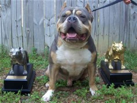chocolate tri color pitbull puppies for sale puppies in louisiana