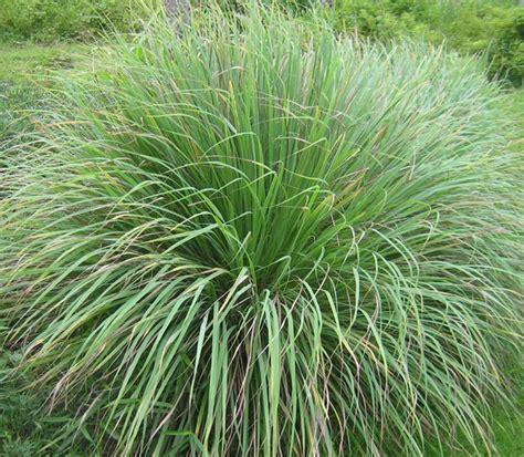 Pot Panjang Ukuran 30 Cm Cocok Untuk Tanaman Likuanyu tanaman serai wangi serai merah serai minyak jual