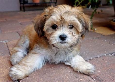 havanese king charles mix havanese mix cavalier king charles spaniel mix puppy spaniels