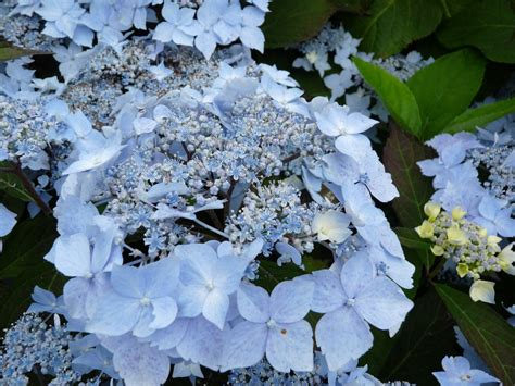deckenle flur hortensia blue deckle hydrangea serrata