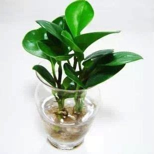 gallery for gt peperomia obtusifolia marble