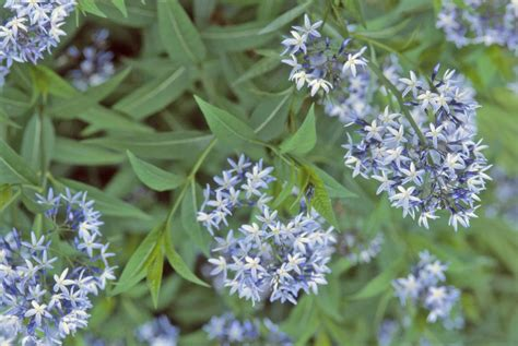 blue foliage plants 12 beautiful blue flowering plants for the garden