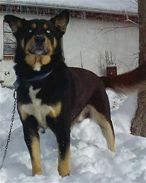 husky mix with rottweiler the rottweiler husky mix rottsky much of a handful or the ideal mix