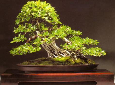 Tanaman Daun Beringin Dollar bonsaiar41