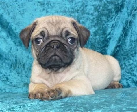 pug adoption sydney adorable pug puppies for sale adoption from new south wales sydney metro adpost