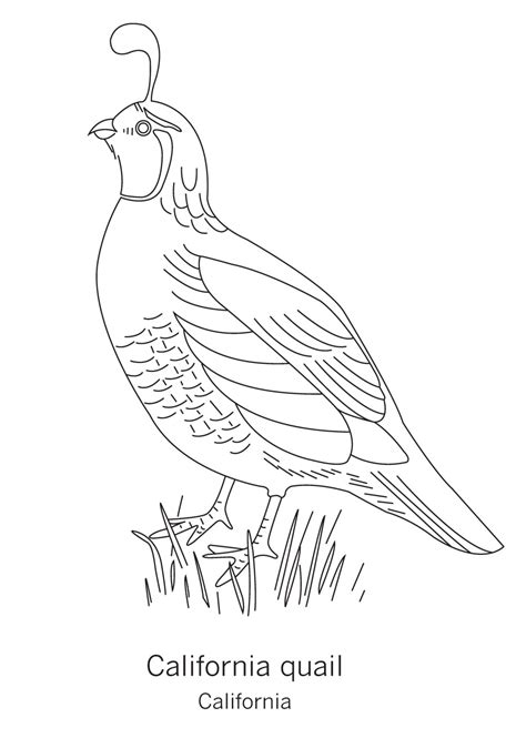 california bird coloring page california state bird page coloring pages