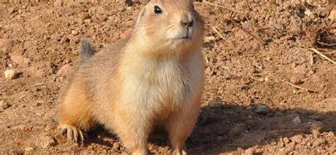 imagenes de animales llaneros perro de la pradera como mascota comercio y cuidados