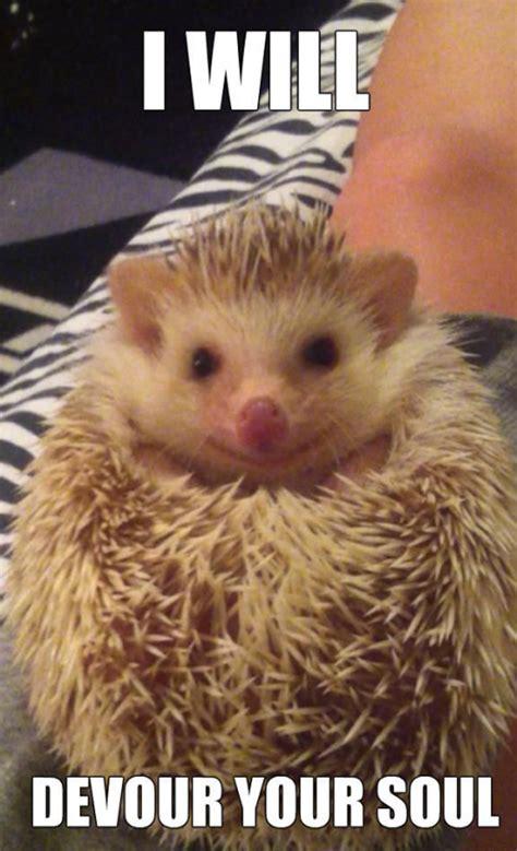 Hedgehog Meme - hedgehog meme birthday google search ᕼeᗪgeᕼogᔕ