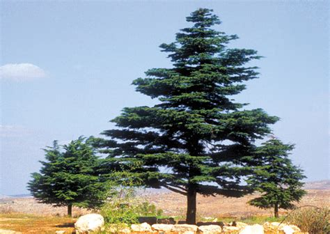 tree in bible lebanese cedar the prized tree of ancient woodworking