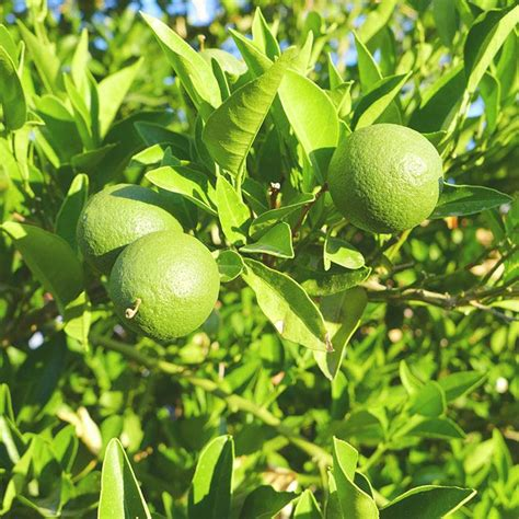 fruit tree fertilizer lowes desert gardening edible garden tour