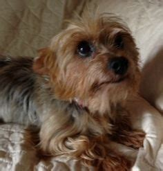 yorkies in dallas is an adoptable terrier yorkie in dallas tx is an 8