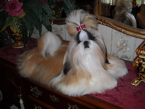 show quality shih tzu shih tzu puppies for sale dajavue shih tzu shih tzu breeder