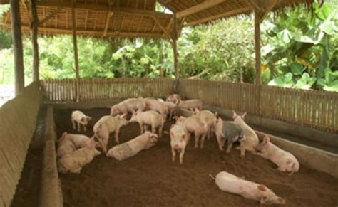 Backyard Piggery Business by Backyard Business Ideas Philippines Izvipi