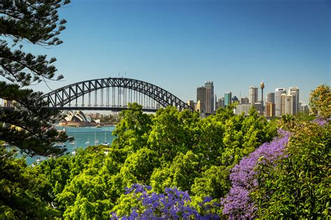 sydney jacaranda trees in bloom