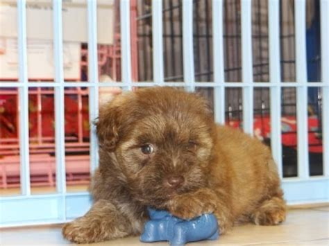 puppies for sale in tn schnorkie puppies dogs for sale in tennessee tn 19breeders chattanooga